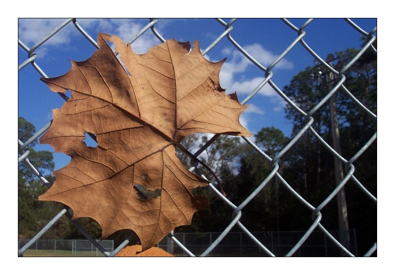 Leaf on a Fence by AlienShore