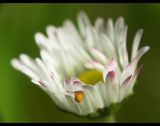 daisy by holda29