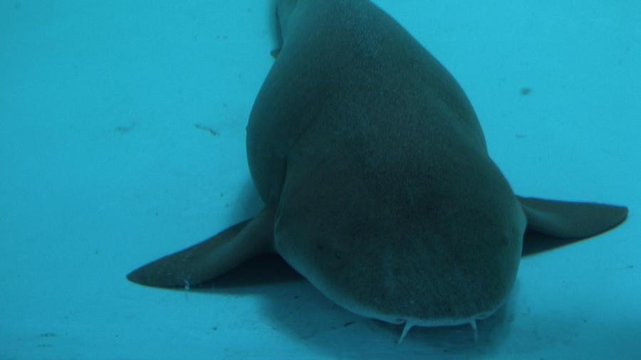 Fish Shark wallpaper