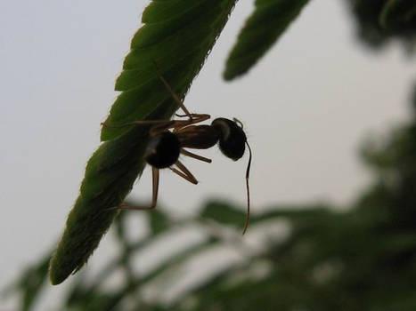 Camponotus leaf at dusk