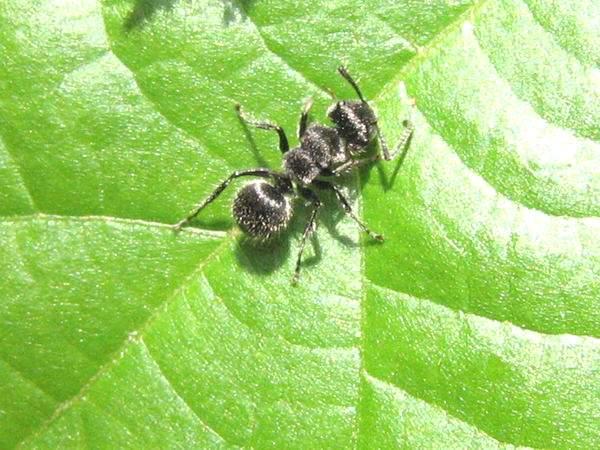 Echinopla leaf