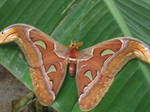 Attacus atlas -atlas moth-