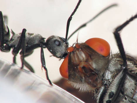 Ant and Fly