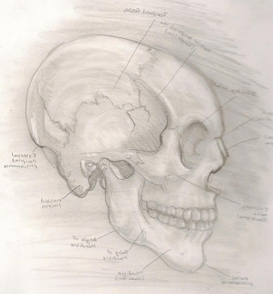 Human Skull by AM-Nyeht