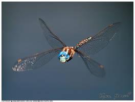 Darner in flight by macrophotography