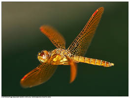 East. Amberwing Dfly in flight by macrophotography