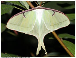 Luna moth by macrophotography