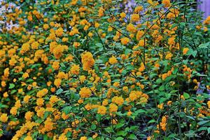 Yellow Beauty by sesam-is-open