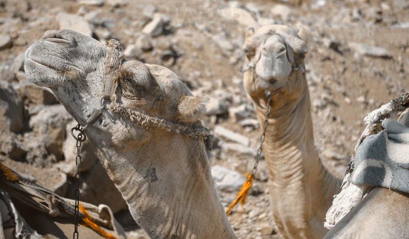Camel ... by Ovatography