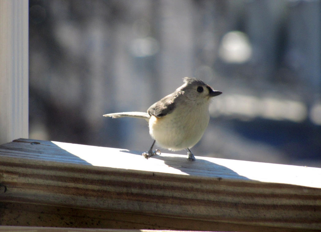 Coy titmouse by korovabar