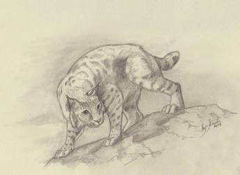 Bobcat by Eurwentala