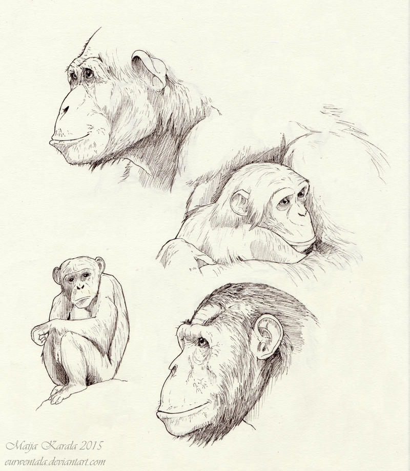 Chimpanzee Sketches by Eurwentala