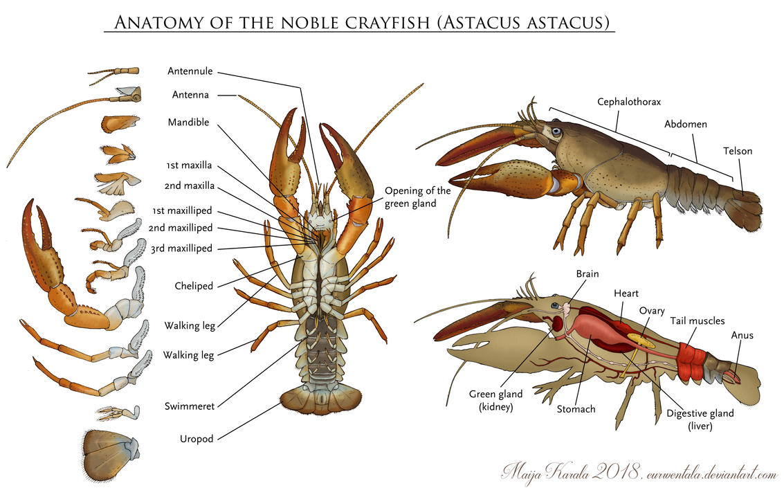Anatomy Of The Noble Crayfish By Eurwentala On Deviantart