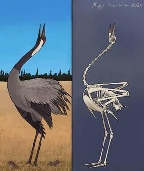 Crane Bones