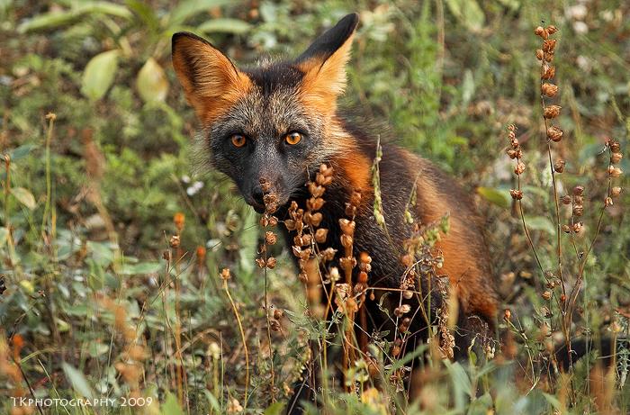 Eyes like a Fox by Thomas-Koidhis