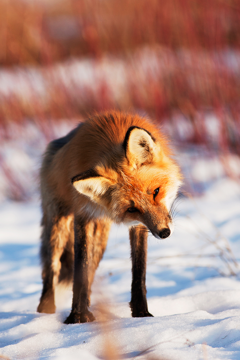 Curious Fox by Thomas-Koidhis
