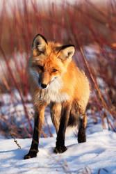 This Fox by Thomas-Koidhis