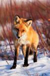 This Fox