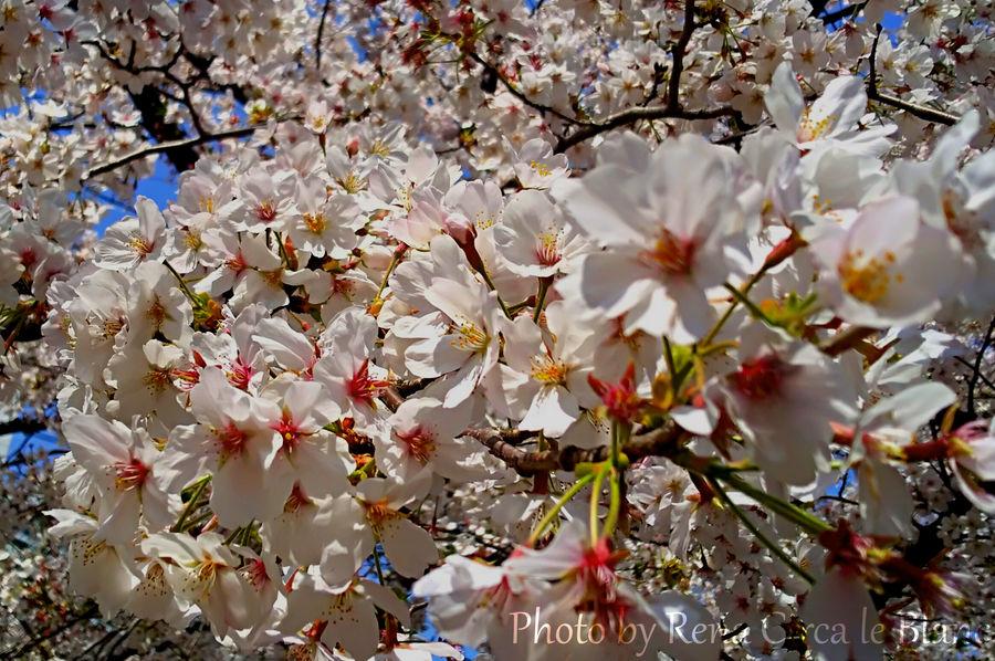 Cherry Blossom by Rena-Circa