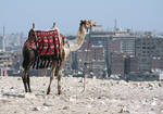camel - cairo