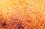 autum texture - leaf
