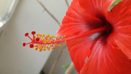 Hibiscus rosa sinensis by CORinAZONe