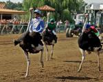 Ostrich Races!