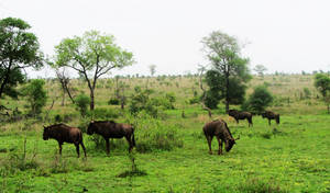Kudus (Kruger Park South Africa)