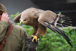 Eagle Stock - 01 by Grauherz