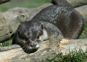 asian otter...1 by donnarachel13