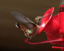 humming bird...1 by donnarachel13