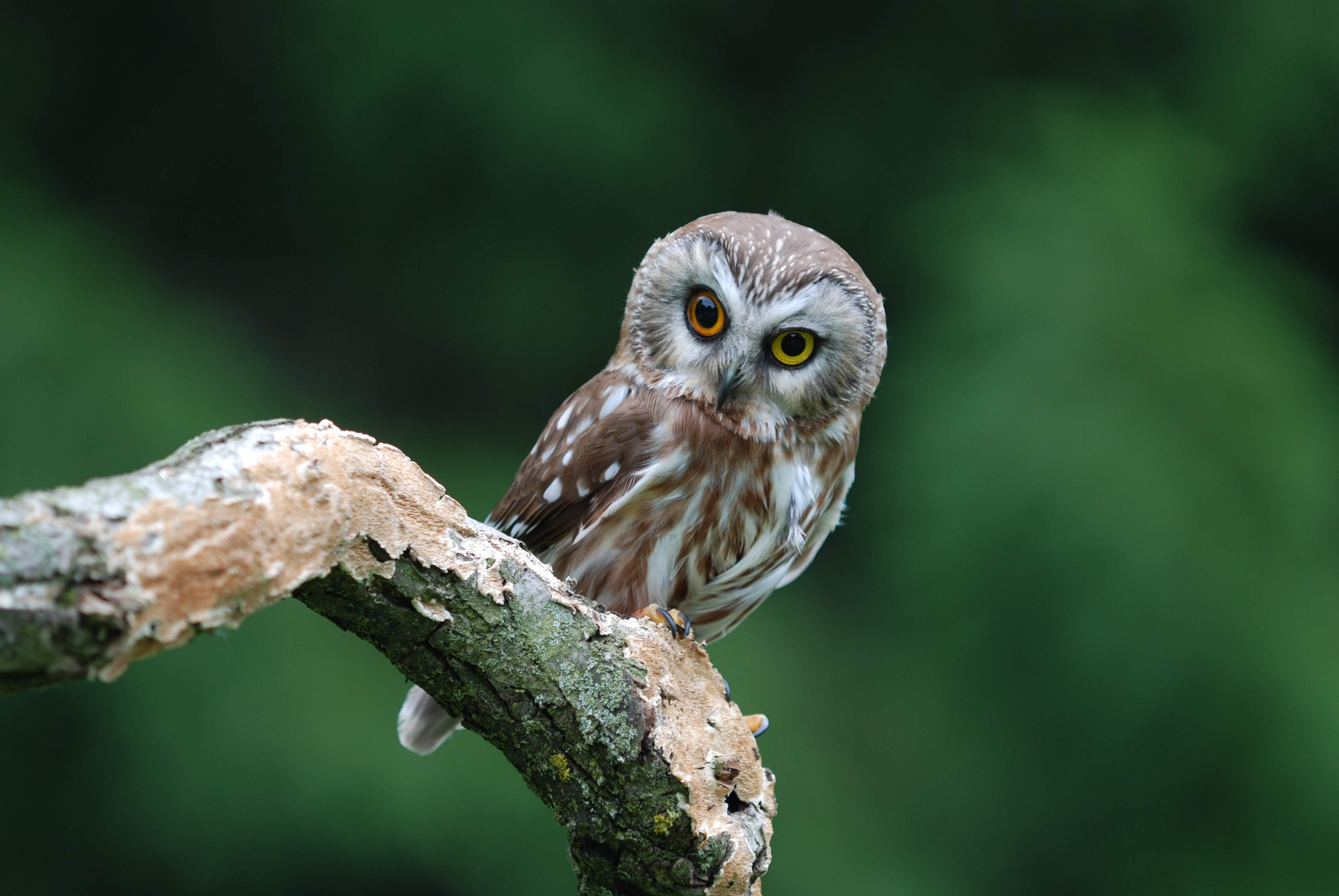 Owl on branch at willows, uk