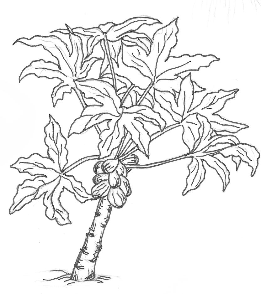 Papaya Tree Drawing For Kids