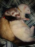 ferrets by guttersharkk