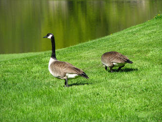 Geese at the lake by AGoldenDragon