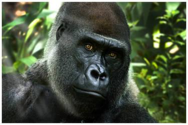 Gorilla's Stare by OMGAlberto