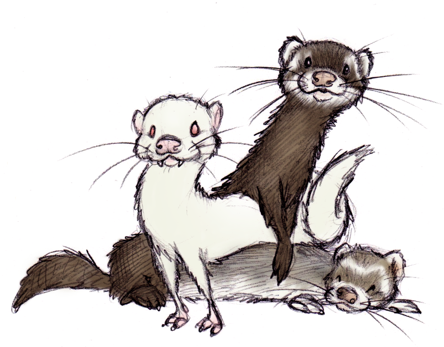 ferrets by shojojim