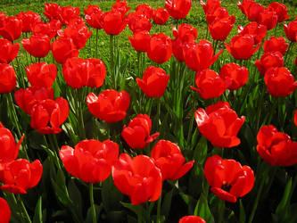 Red tulips by Ubersinnlich