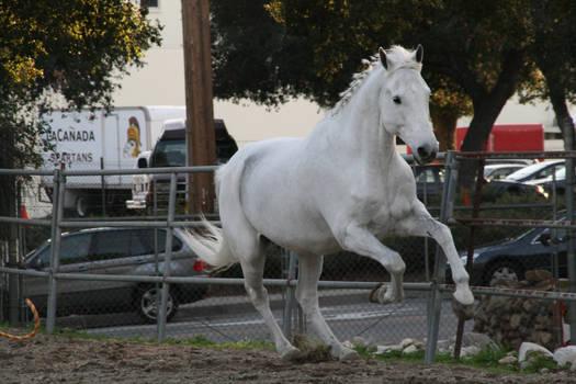 white horse stock 7