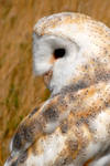 Barn Owl Glance