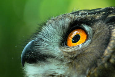Eagle Owl Gaze by Shadow-and-Flame-86