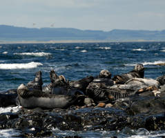 Grey Seal Haul Out by Shadow-and-Flame-86