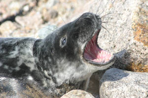 Grey seal yearling yawn by Shadow-and-Flame-86