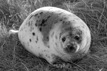 One tubby seal pup by Shadow-and-Flame-86