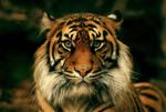 Shy Tigress