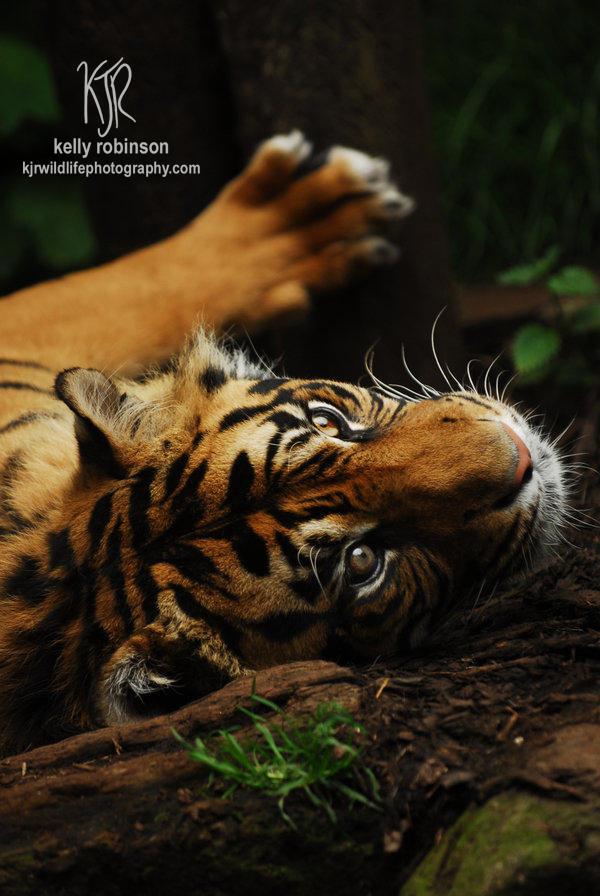 Tibor the Tiger