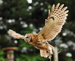 Tawny owl flight