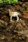 Cliffhanger Goat