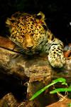 Amur Leopard Snooze