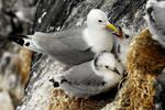 Kittiwake fledglings